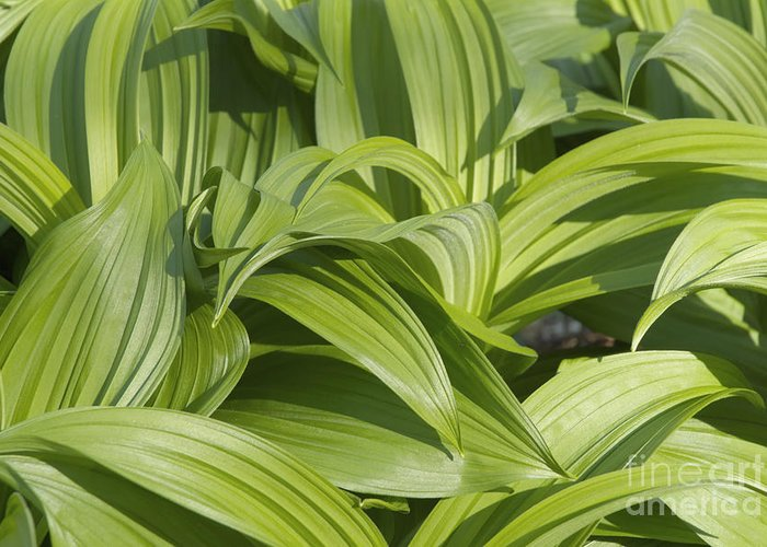 Landscape Greeting Card featuring the photograph Indian Poke - Veratrum Veride- by Erin Paul Donovan