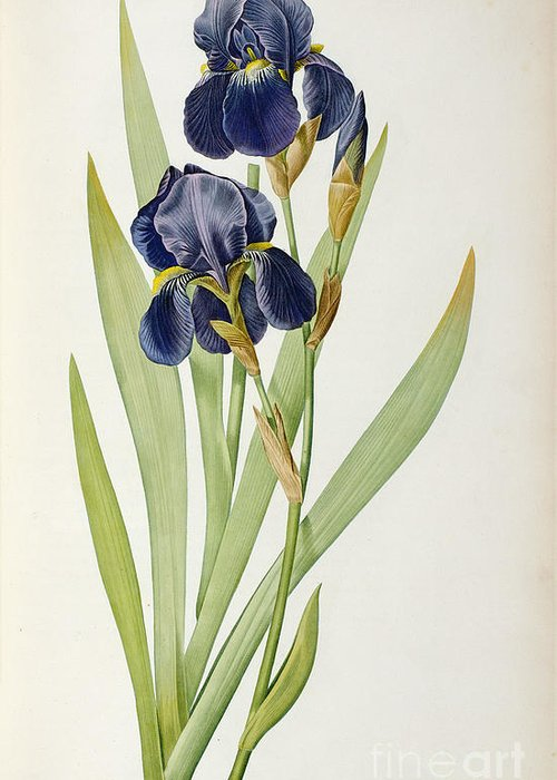 Iris Greeting Card featuring the painting Iris Germanica by Pierre Joseph Redoute