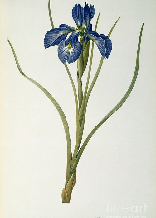 Iris Greeting Card featuring the painting Iris Xyphioides by Pierre Joseph Redoute