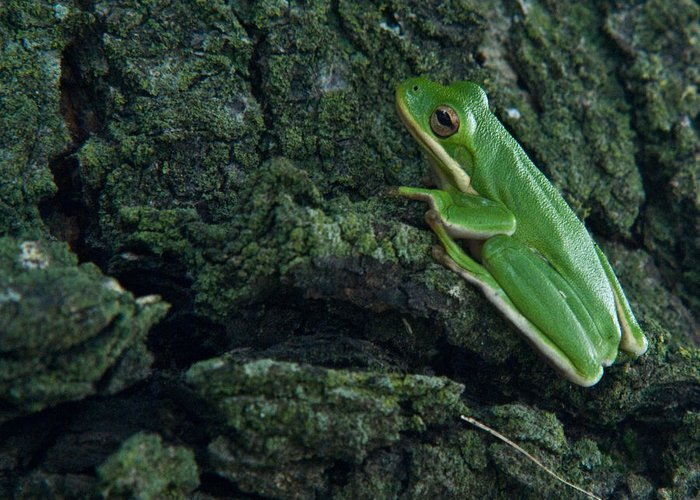Frog Greeting Card featuring the photograph Its Hard To Be Green by Douglas Barnett
