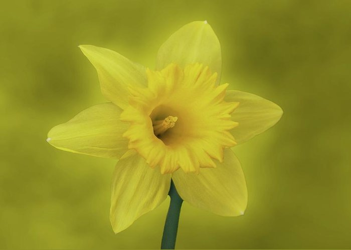 Daffodil Greeting Card featuring the photograph It's Spring by Sandy Keeton