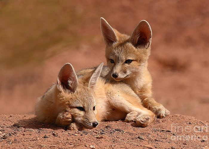 Fox Greeting Card featuring the photograph Kit Fox Pups On A Lazy Day by Max Allen