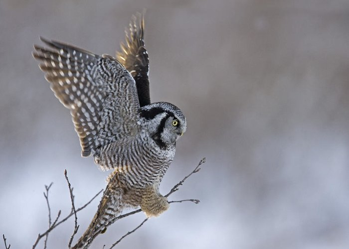 Hawk Owl Greeting Card featuring the photograph Landing Hawk Owl by Tim Grams