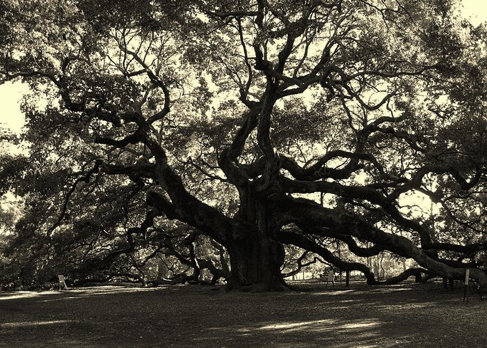 Fine Arts Greeting Card featuring the photograph Last Angel Oak 72 by Susanne Van Hulst