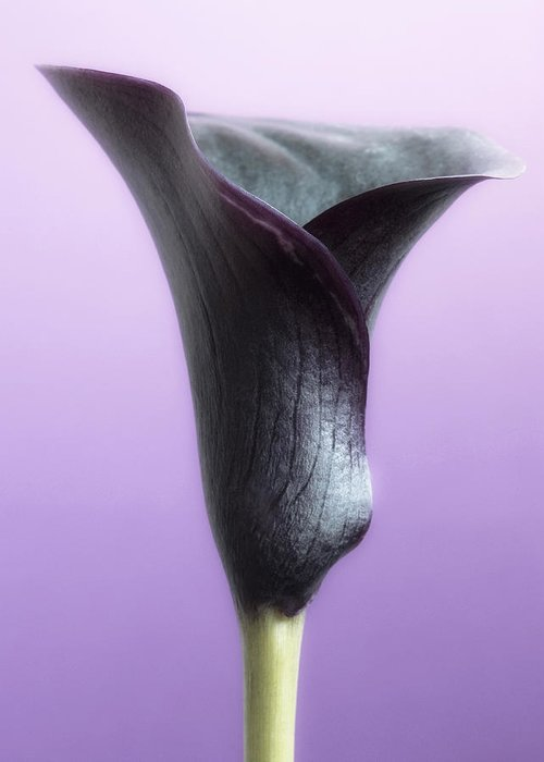 Floral Greeting Card featuring the photograph Lilac Purple Calla Flower by Artecco Fine Art Photography