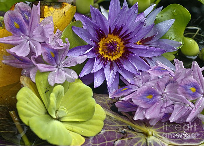 Blue Majestic Flower On Water Greeting Card featuring the photograph Lilies No. 38 by Anne Klar