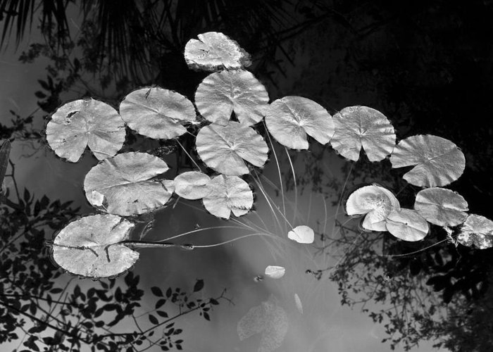 Lilly Pads Greeting Card featuring the photograph Lilly Pads Fakahtchee Strand by Jim Dohms