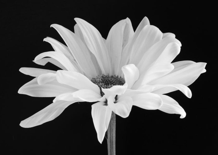 Daisy Greeting Card featuring the photograph Lone Daisy by Harry H Hicklin