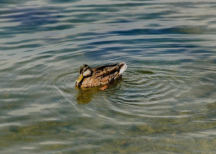Photography Greeting Card featuring the photograph Lone Duck Swimming On A River by Todd Gipstein