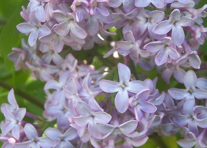Lavendar Purple Lilacs Flowers Garden Greeting Card featuring the photograph Lovely Lilacs by Anna Villarreal Garbis