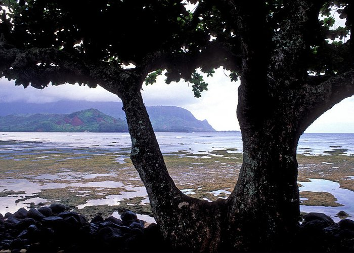 Kauai Photos Greeting Card featuring the photograph Low Tide And The Tree by Kathy Yates