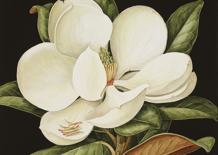 Still-life Greeting Card featuring the painting Magnolia Grandiflora by Jenny Barron