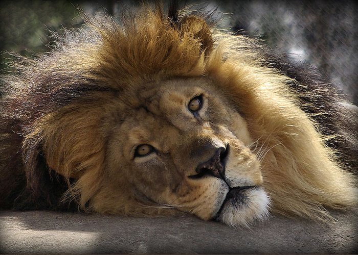 Lion Greeting Card featuring the photograph Majestic Love by Linda Mishler