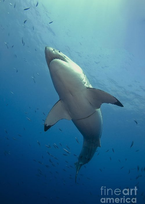 Carcharodon Carcharias Greeting Card featuring the photograph Male Great White Sharks Belly by Todd Winner