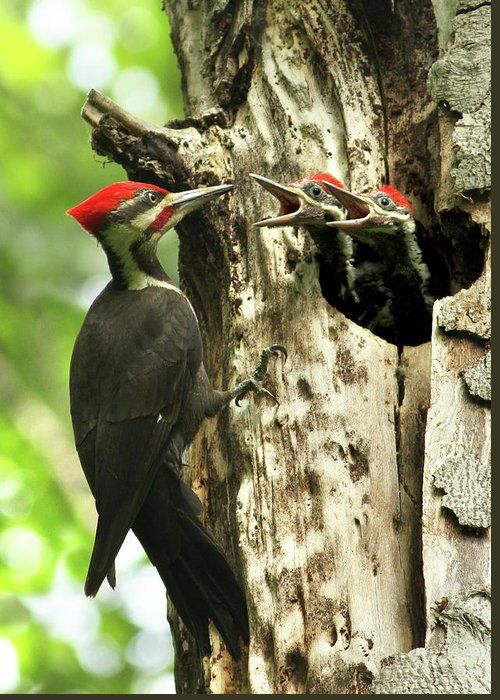 Hungry Greeting Card featuring the photograph Male Pileated Woodpecker At Nest by Mircea Costina Photography