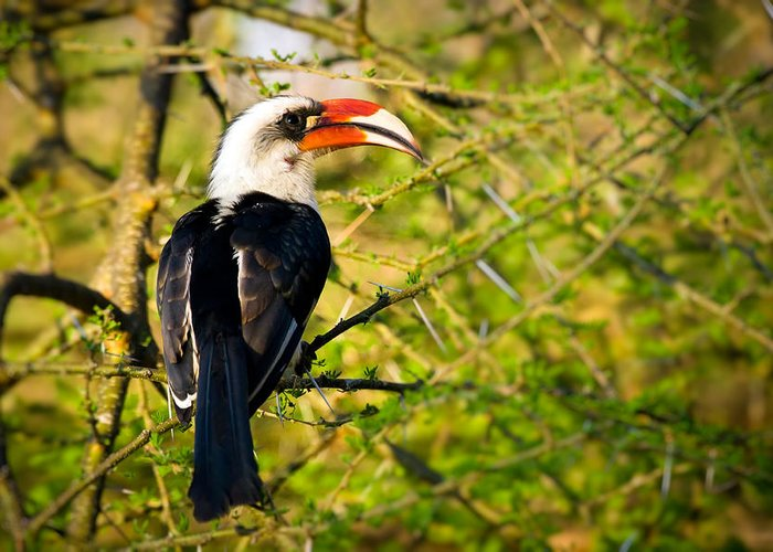 3scape Photos Greeting Card featuring the photograph Male Von Der Decken's Hornbill by Adam Romanowicz