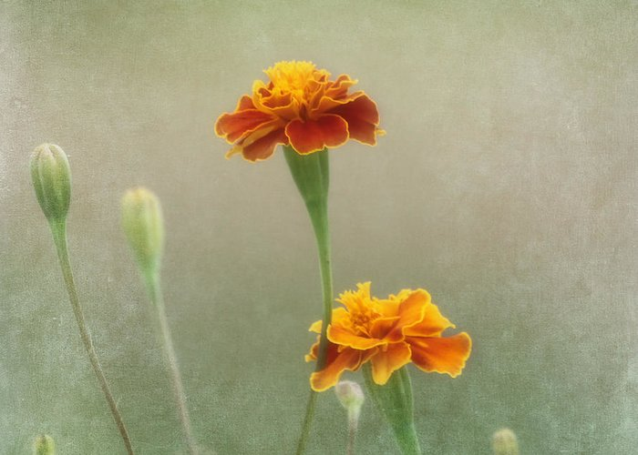 Flower Greeting Card featuring the photograph Marigold Fancy by Kim Hojnacki
