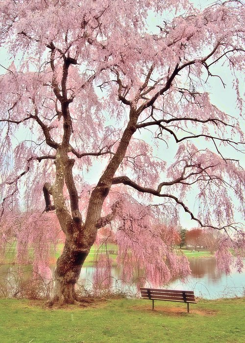 Baby Blue Greeting Card featuring the photograph Meet Me Under The Pink Blooms Beside The Pond - Holmdel Park by Angie Tirado