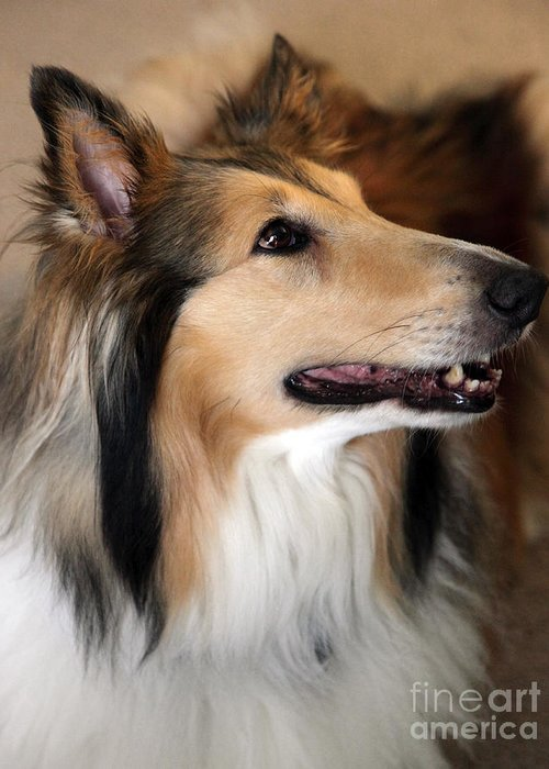Collie Greeting Card featuring the photograph Molly by Amanda Barcon