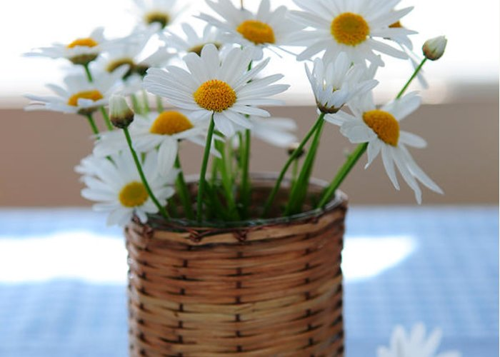 Daisy Greeting Card featuring the photograph Morning Daisies by Elena Elisseeva