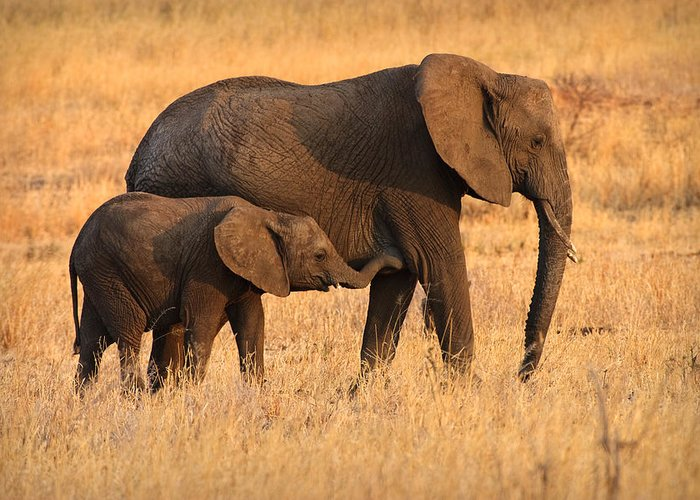 3scape Photos Greeting Card featuring the photograph Mother And Baby Elephants by Adam Romanowicz