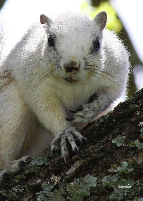 Squirrel Greeting Card featuring the photograph Mr. Inquisitive I by Betsy Knapp