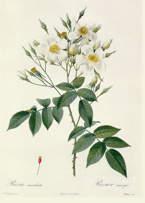 Rosa Greeting Card featuring the drawing Musk Rose by Pierre Joseph Redoute