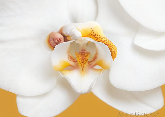 Moth Orchid Greeting Card featuring the photograph Nakeeta In Moth Orchid by Anne Geddes