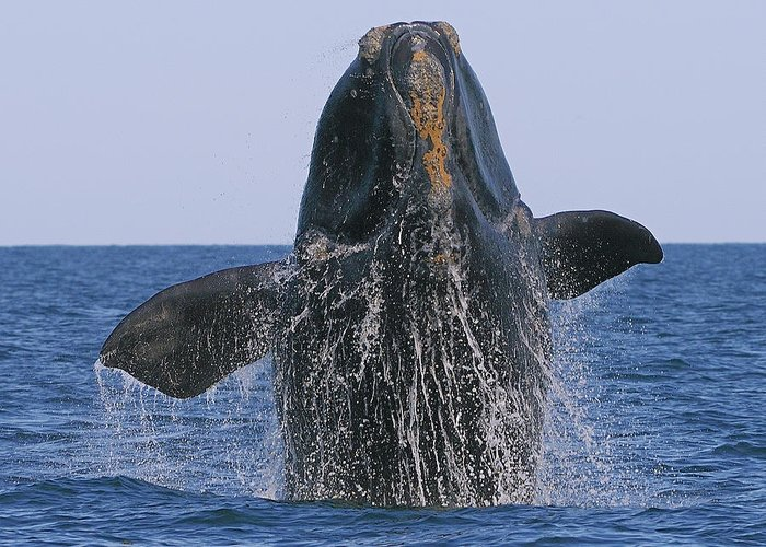 Right Whale Breach Greeting Card featuring the photograph North Atlantic Right Whale Breaching by Tony Beck