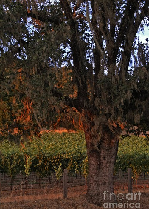 Calistoga Greeting Card featuring the photograph Oak Tree And Vineyards In Knight's Valley by Charlene Mitchell
