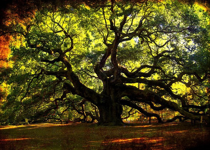 Angel Oak Greeting Card featuring the photograph Old Old Angel Oak In Charleston by Susanne Van Hulst