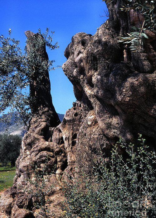 2000 Year Old Olive Tree Greeting Card featuring the photograph Olive Tree 2000 Years Old by Thomas R Fletcher