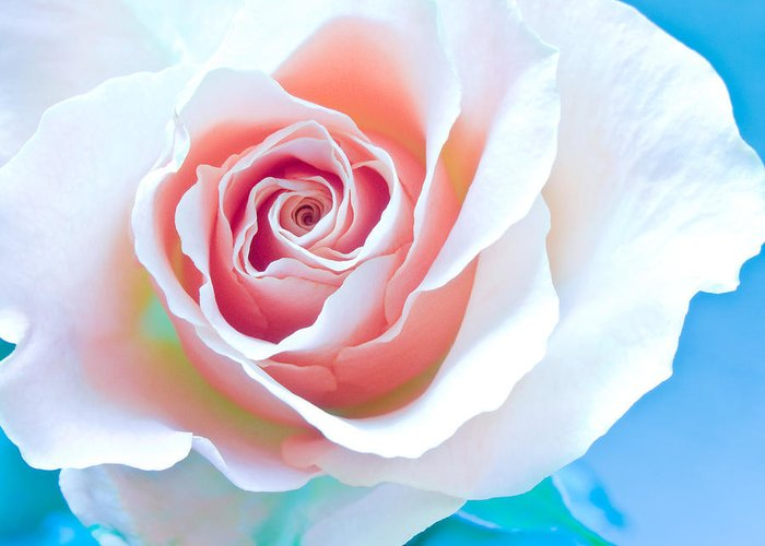 All Greeting Card featuring the photograph Orange White Blue Abstract Rose by Artecco Fine Art Photography