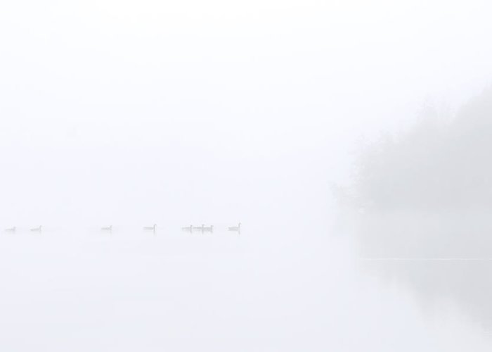 Geese Greeting Card featuring the photograph Out Of The Fog by Mike Dawson