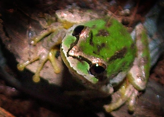 Tree Frog Greeting Card featuring the photograph Pacific Tree Frog by Nick Gustafson