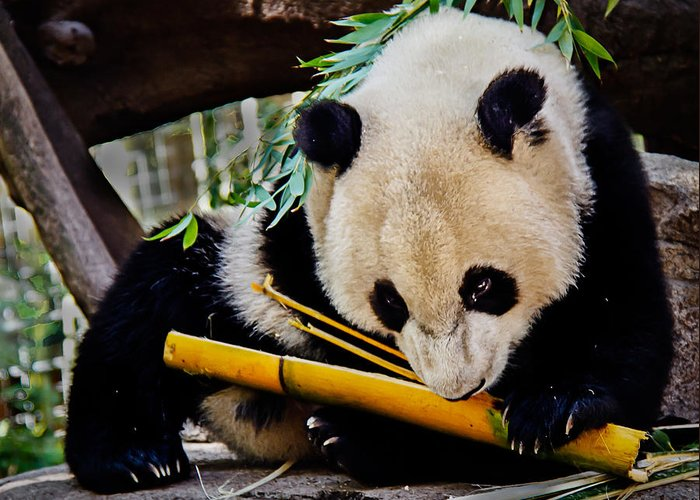 Animals Greeting Card featuring the photograph Panda Bear by Robert Bales