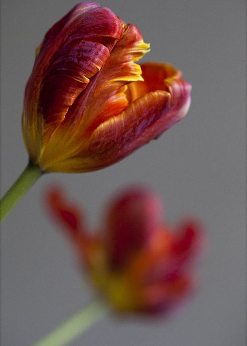 Flower Greeting Card featuring the photograph Parrot Tulips 17 by Robert Ullmann