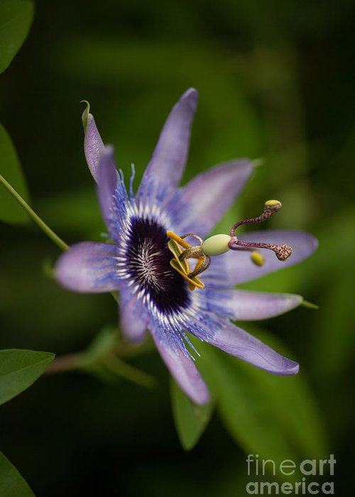 Passion Flower Greeting Card featuring the photograph Passiflora by Mike Reid