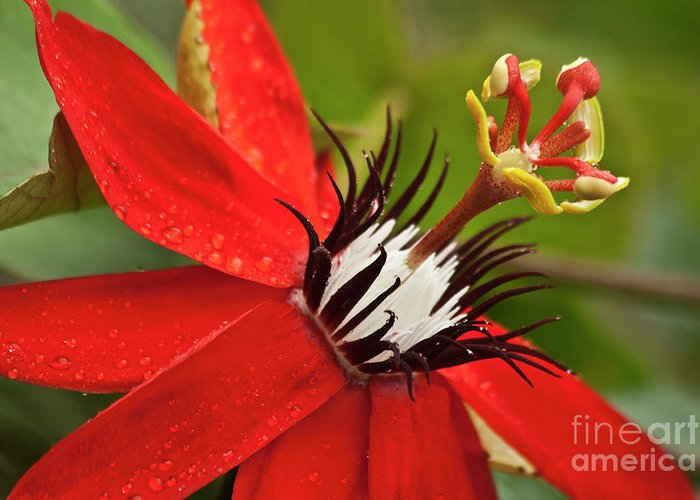 Nature Greeting Card featuring the photograph Passionate Flower by Heiko Koehrer-Wagner