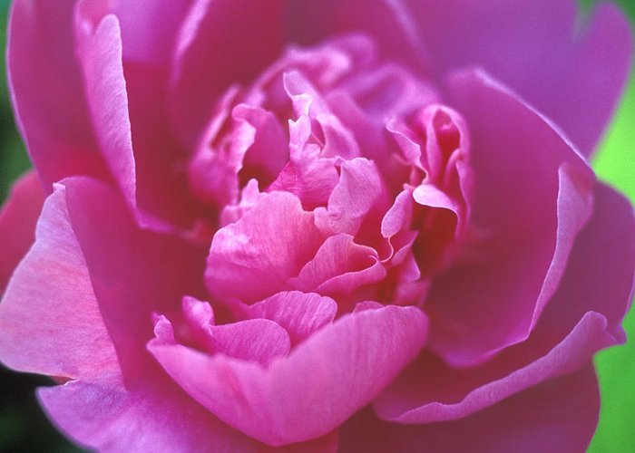 Peony Greeting Card featuring the photograph Peony In Pink by Kathy Yates