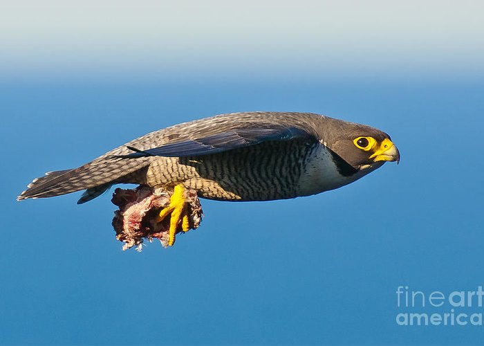 Peregrine Falcon Greeting Card featuring the photograph Peregrine Falcon 2 by Michael Nau