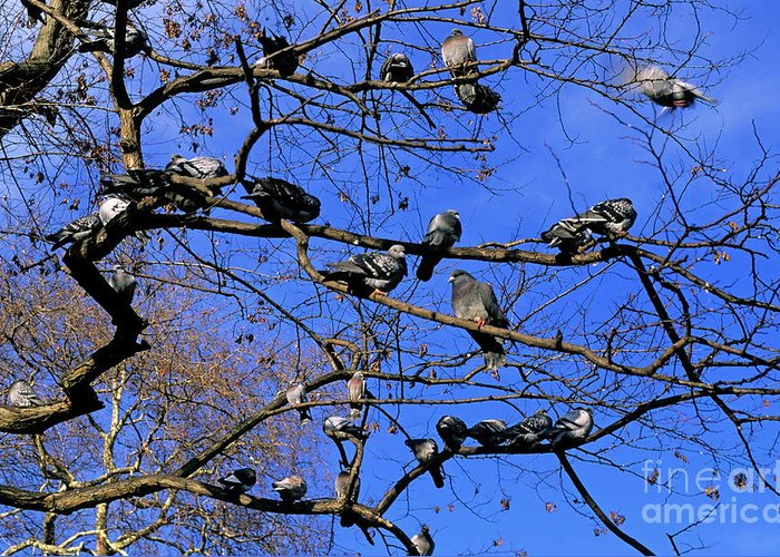 Animal Greeting Card featuring the photograph Pigeons Perching In A Tree Together by Sami Sarkis