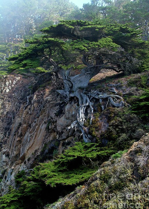 Landscape Greeting Card featuring the photograph Point Lobos Veteran Cypress Tree by Charlene Mitchell