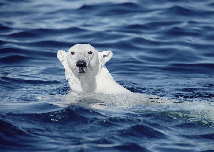 Mp Greeting Card featuring the photograph Polar Bear Swimming Baffin Island Canada by Flip Nicklin