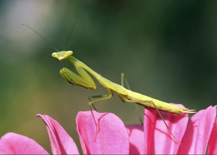 Praying Mantis Greeting Card featuring the photograph Praying Mantis by Photostock-israel