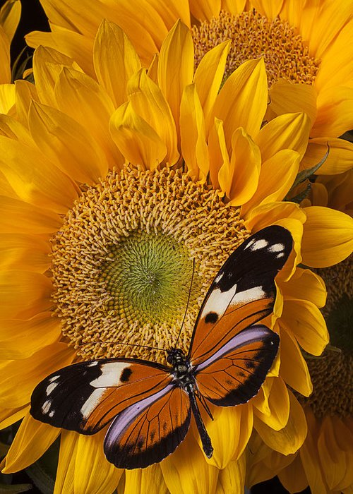 Pretty Greeting Card featuring the photograph Pretty Butterfly On Sunflowers by Garry Gay