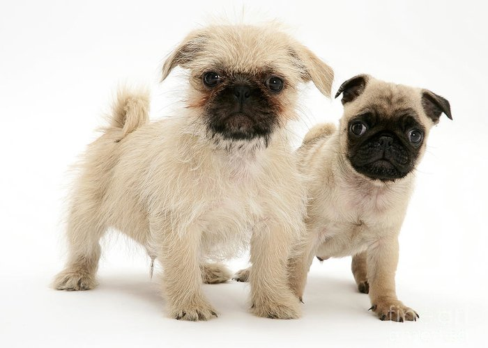 Animal Greeting Card featuring the photograph Pugzu And Pug Puppies by Jane Burton