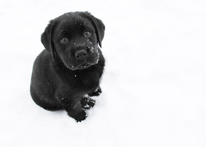 Dog Greeting Card featuring the photograph Puppy In The Snow by Larry Marshall