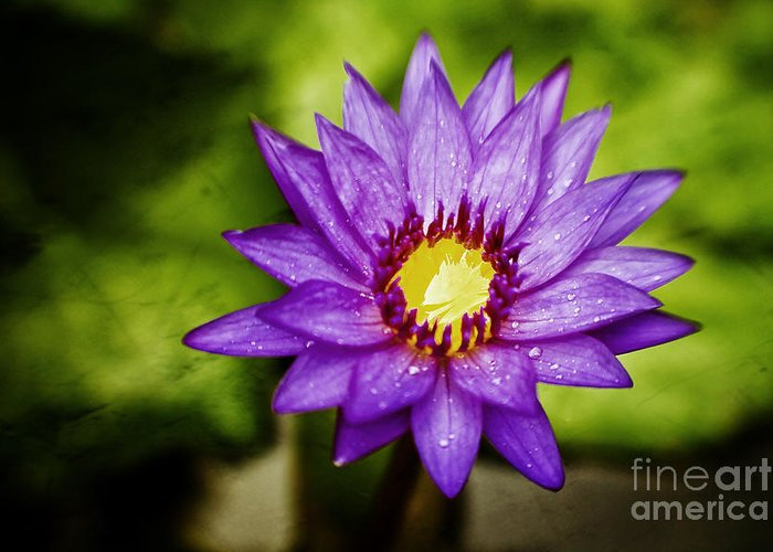 Water Lilly Greeting Card featuring the photograph Purple Sunrise by Scott Pellegrin