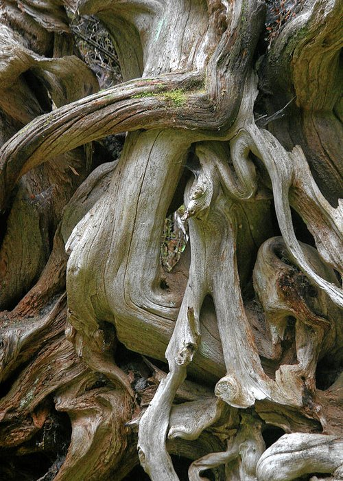 Roots Greeting Card featuring the photograph Quinault Valley Olympic Peninsula Wa - Exposed Root Structure Of A Giant Tree by Christine Till